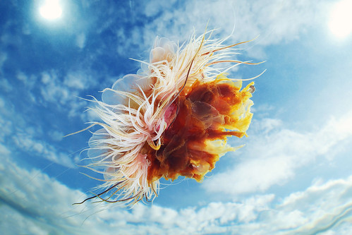 Cyanea capillata in the sky 3 | by Alexander Semenov