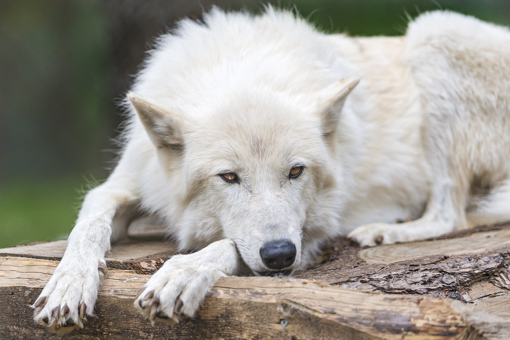 Bored Polar Wolf A Polar Wolf Relaxing In A Cool
