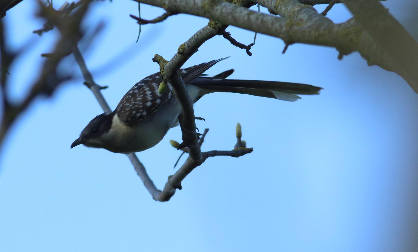 cuckoo&dove0176