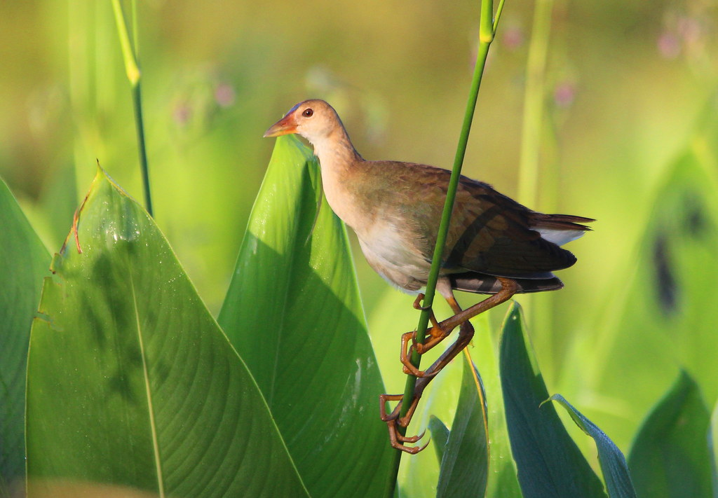 PURPLE GALLINULE juvenile