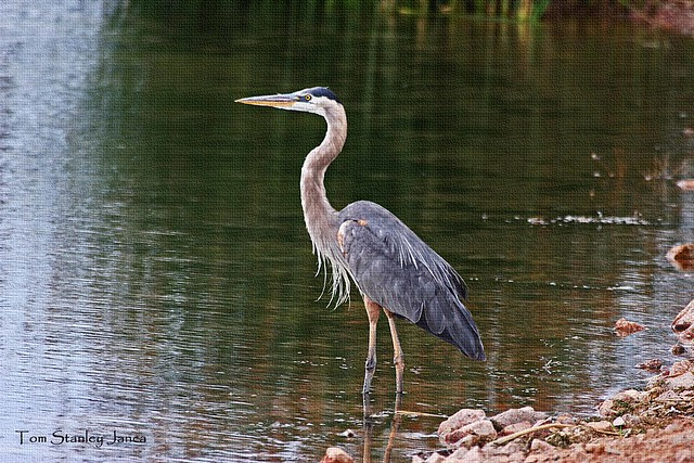 great blue heron fishing flickr photo sharing