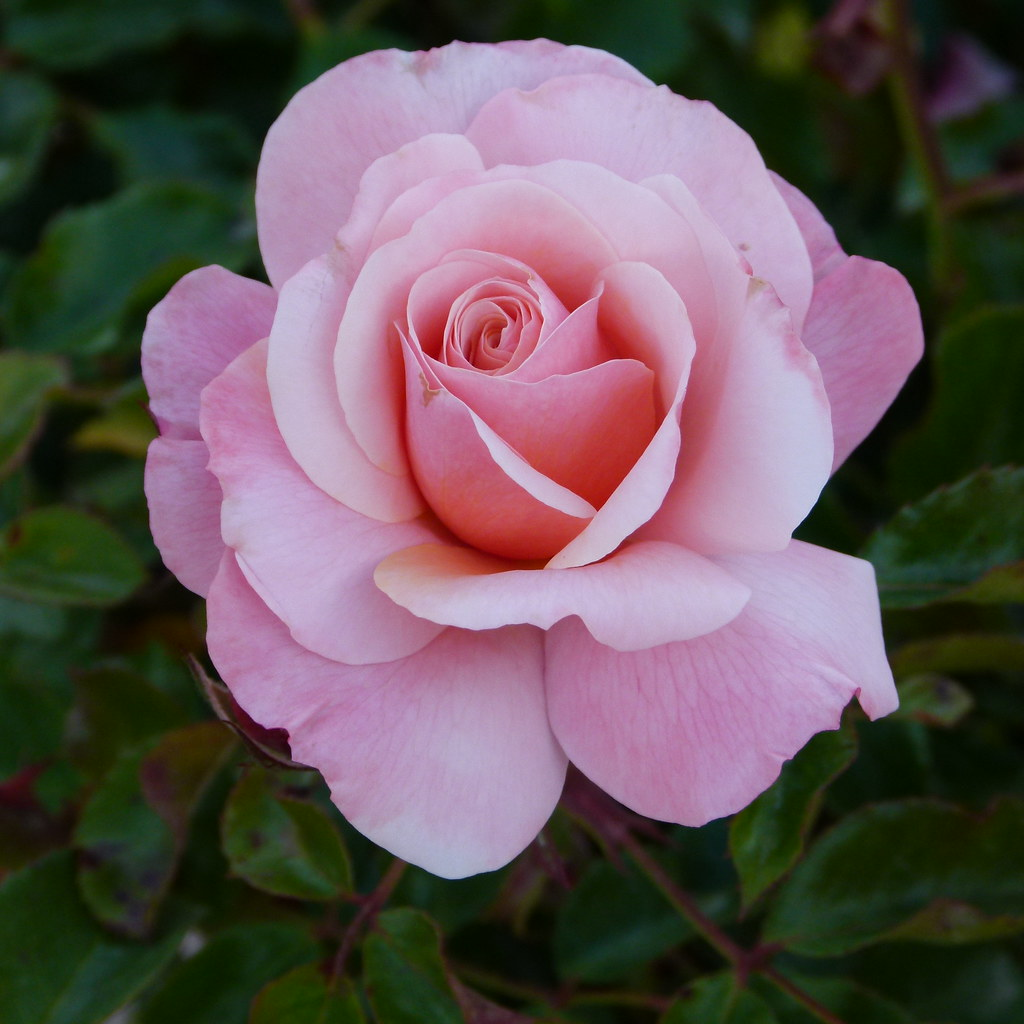 Rosa en el jard n de viveros valencia antonio mar n for Viveros en segovia