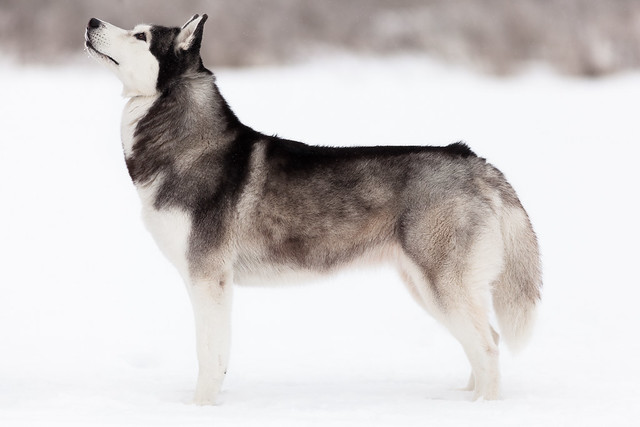 dog-breed-month-siberian-husky
