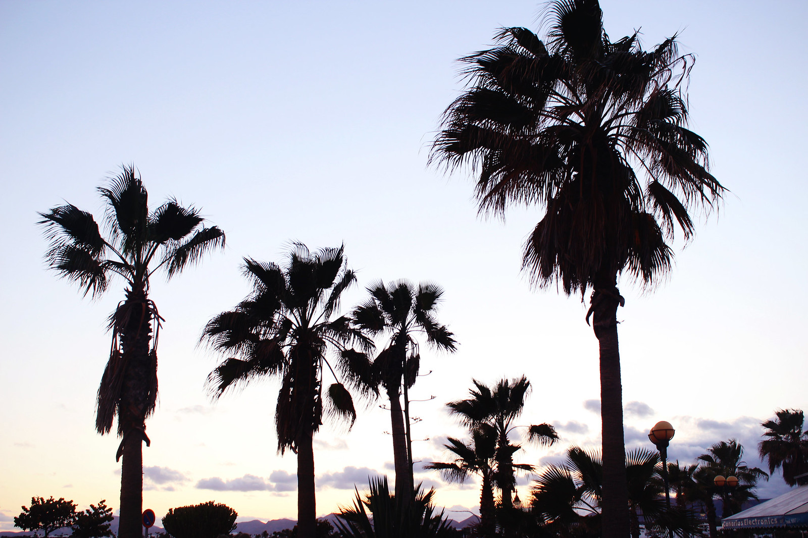 Canary islands palms