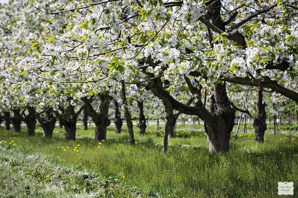 kirschbl te im alten land flowering cherry trees flickr. Black Bedroom Furniture Sets. Home Design Ideas