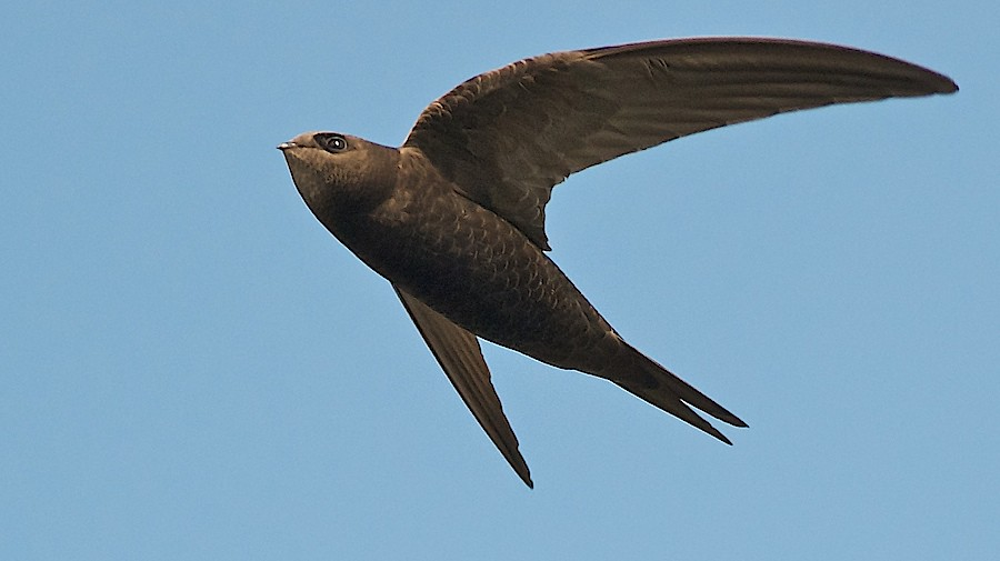 Common Swift Apus Apus In Flight Not Exactly The