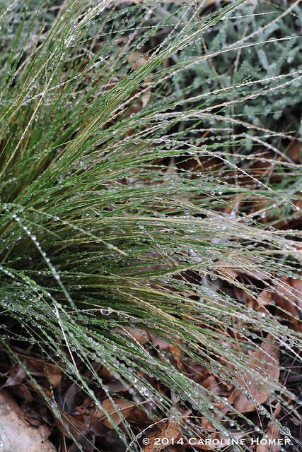 icy feathergrass