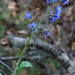 Hound'sTongue_blossoms_5976a