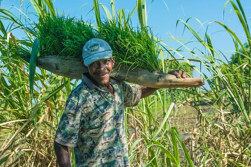 Farmer in Haiti holding his rice plants
