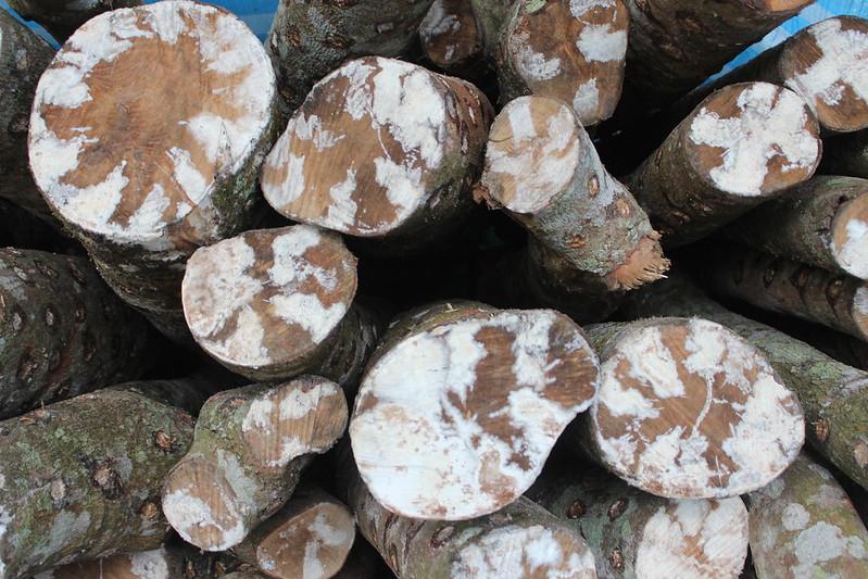 疏伐木做成段木香菇。攝影:廖靜蕙