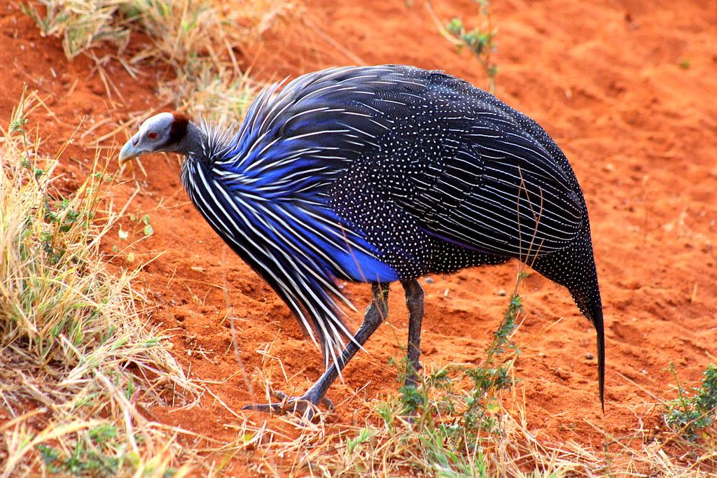 Vulturine guineafowl - photo#28