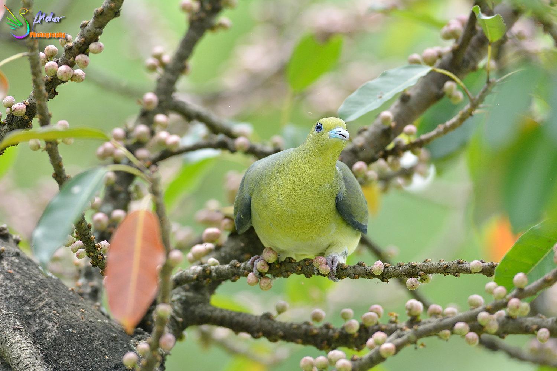Japanese_Green_Pigeon_8689
