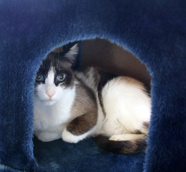 Ummi, gata Siamesa tricolor muy dulce y juguetona tímida nacida en 2013, en adopción. Valencia. ADOPTADA. 27299999132_1f651a4240_z