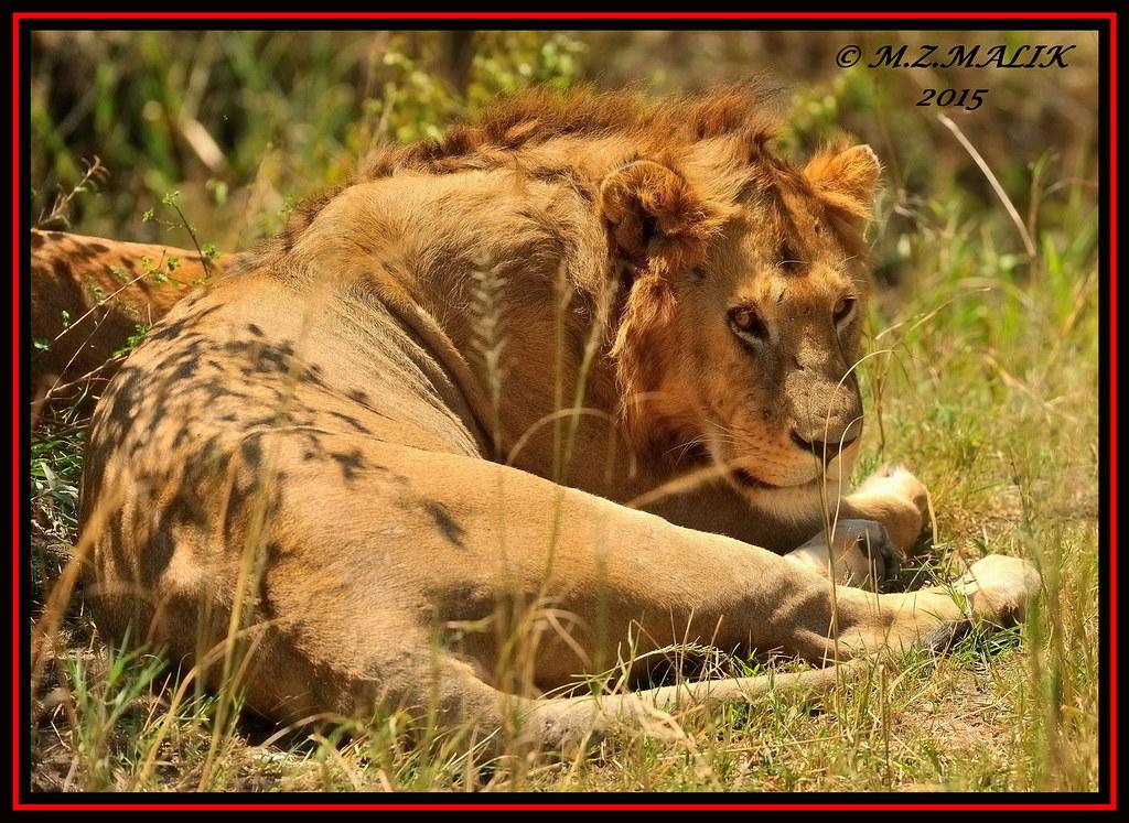 YOUNG ADULT MALE LION KING (Panthera Leo) ......MASAI MARA