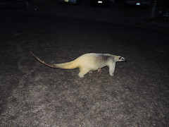 Anteater crossing the road