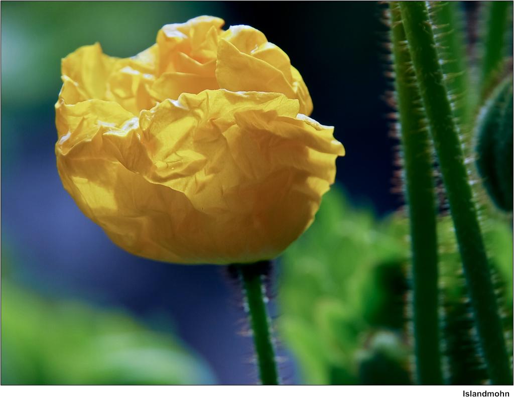 islandmohn iceland poppy eine gelbe zuchtform die auf d flickr. Black Bedroom Furniture Sets. Home Design Ideas