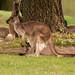 Mother Kangaroo & Joey