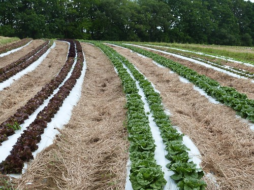 Soils protected from the impact of intense rainstorms by a layer of mulch between rows of lettuce growing at Harvest Valley Farm in Valencia, PA