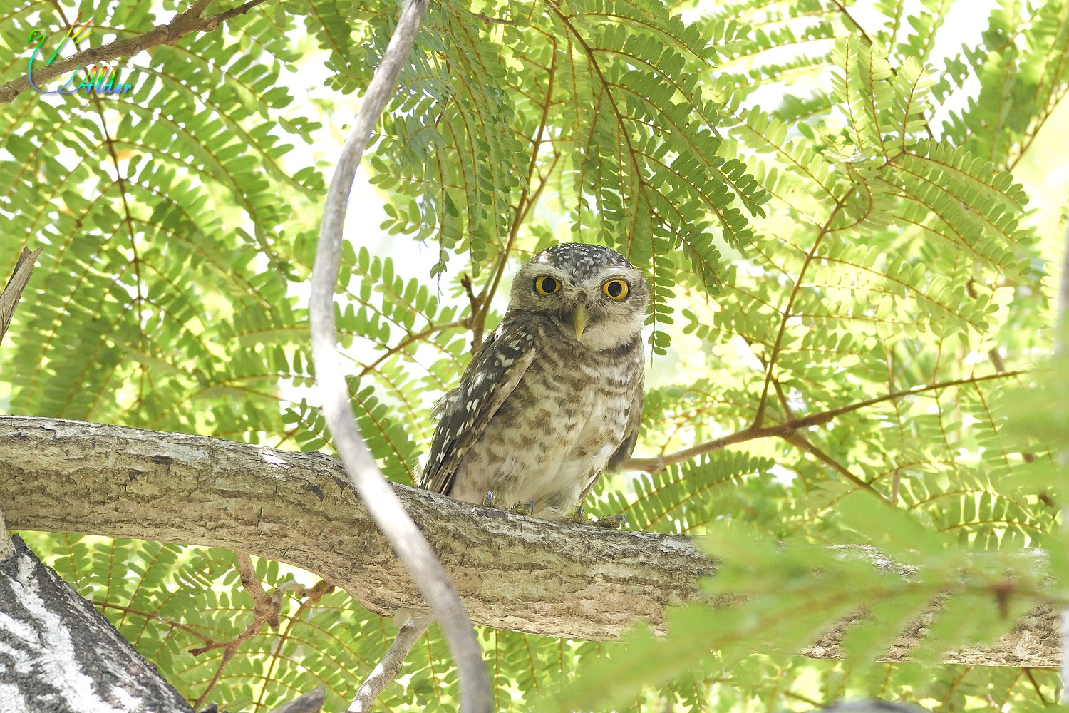 Spotted_Owlet_6705