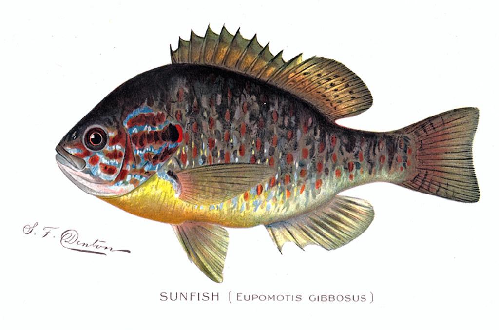 Sunfish fish sunfish nys dec flickr for Nys dec fishing