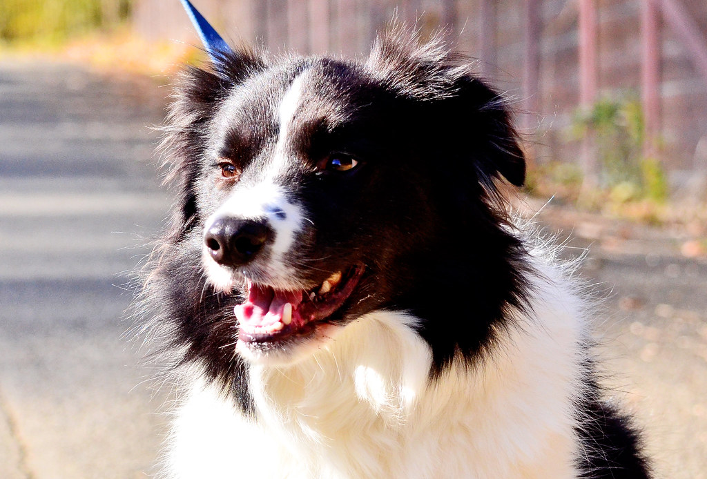 Border Collie Dog, Eo (Male, age unknown) / ボーダー・コリーのイオ
