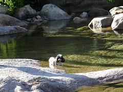 Rêve, chien de montagne, aux vasques de la confluence Peralzone/Figa Bona