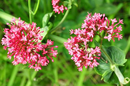 Botanischer Spaziergang am Atlantik (Bretagne) - Wildpflanzen in Küstennähe - hier: Rote Spornblume - Foto: Brigitte Stolle 2016