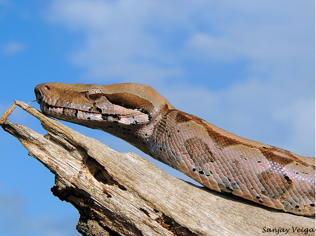 Boa Constrictor And Dog Video
