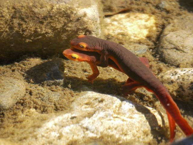 sierra newts