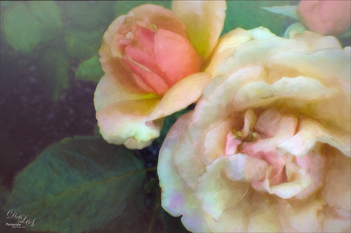 Image of two peach roses