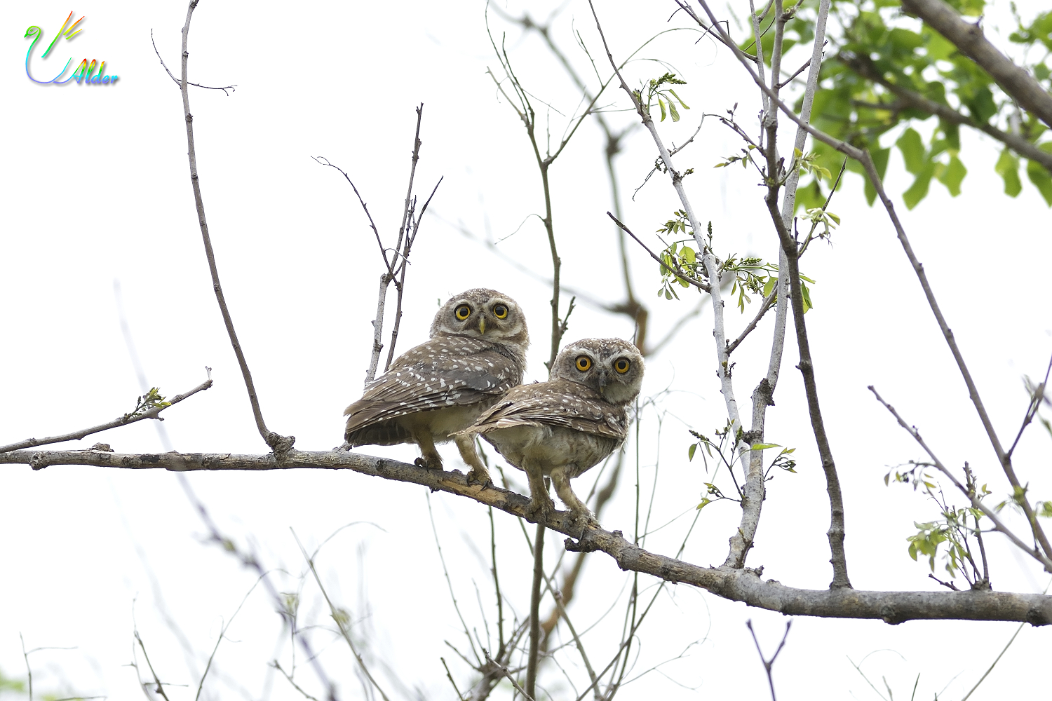 Spotted_Owlet_5983