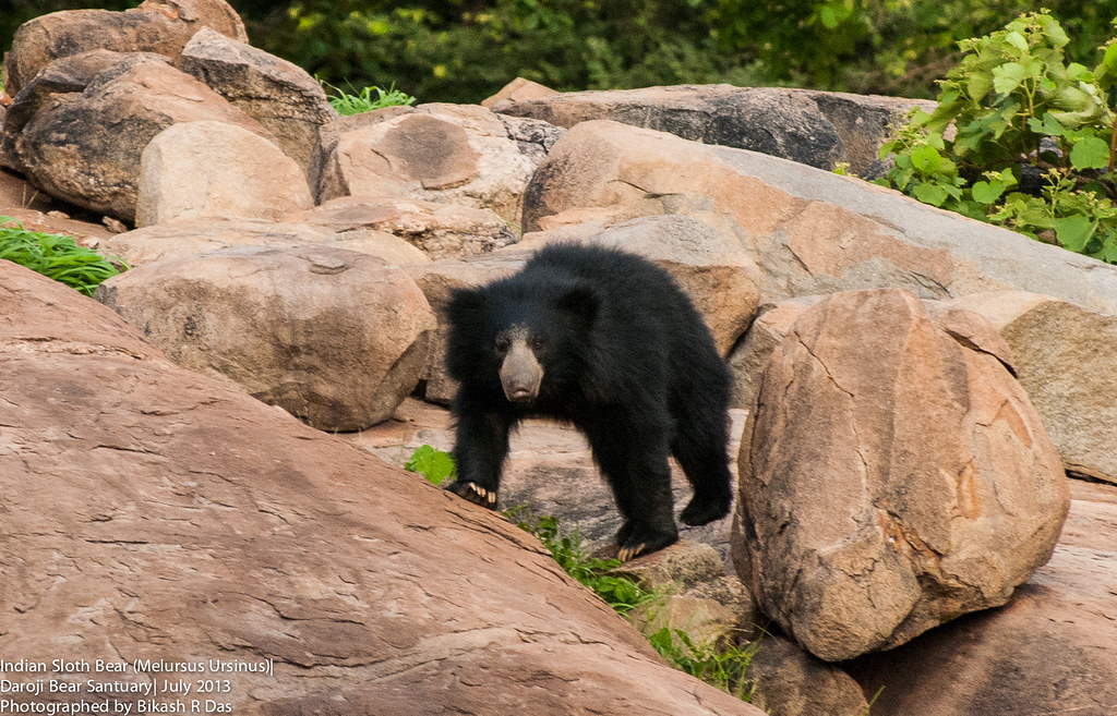 Indian Sloth Bear Melursus Ursinus The Sloth Bear
