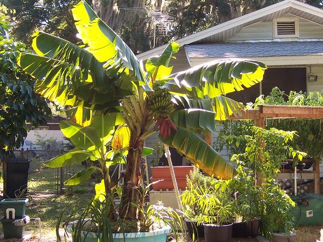 Growing Bananas In A Square Foot Hydroponic System