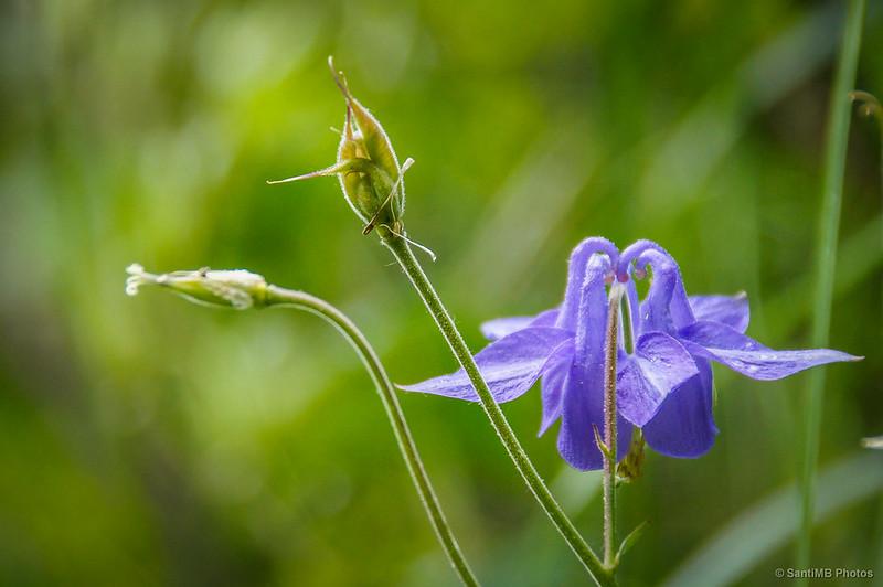 Una flor de aguileña
