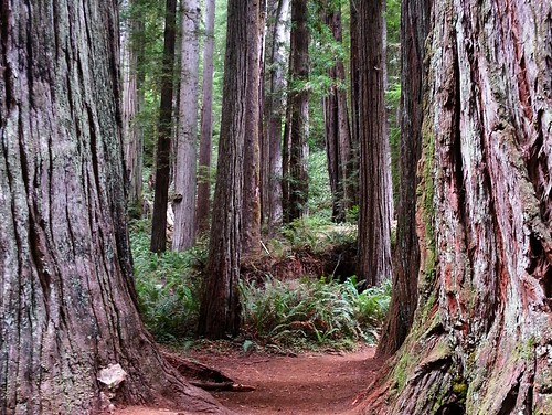 coastal redwoods | by joshhikes