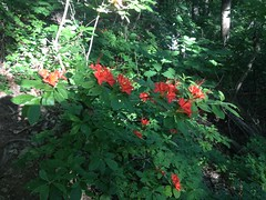 Reddish Wild Azaleas