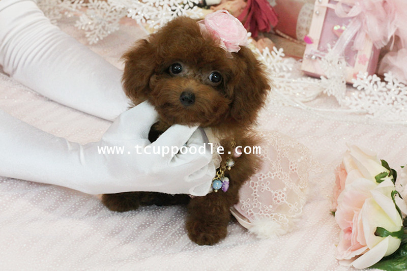 Poodle Weight Big Teacup poodle -Toy...