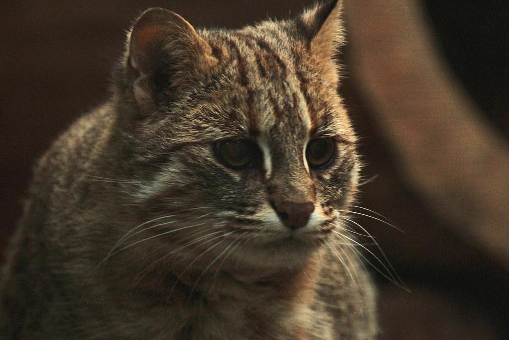 amur leopard cat dortmund img 0373 safi kok flickr. Black Bedroom Furniture Sets. Home Design Ideas