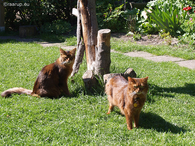 Can Somali Cats Be Left Home Alone