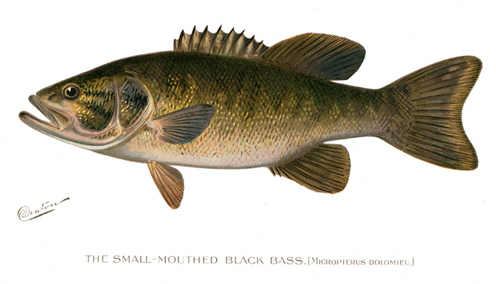 Smmthblkbass small mouth bass fish nys dec flickr for Nys dec fishing