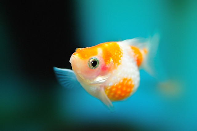 Pearlscale Goldfish | Flickr - Photo Sharing!