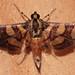 099775 Syngamia florella