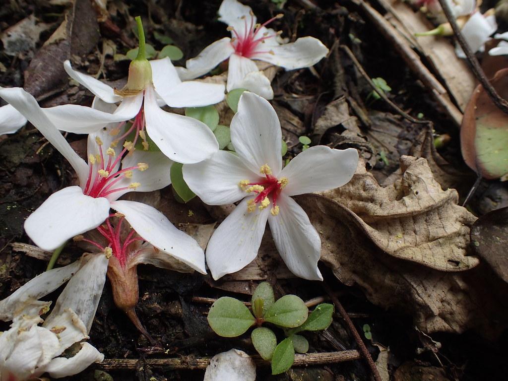 掉落的桐花多為雄花。圖片來源:自然谷提供。