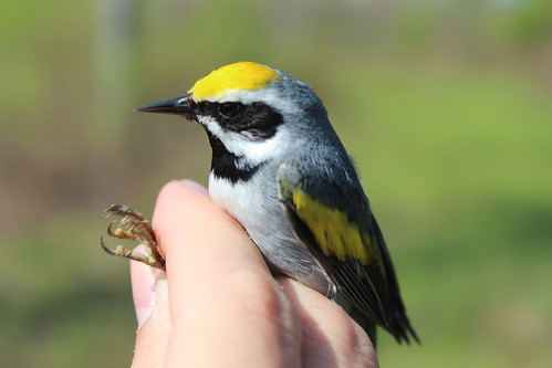 A golden-winged warbler