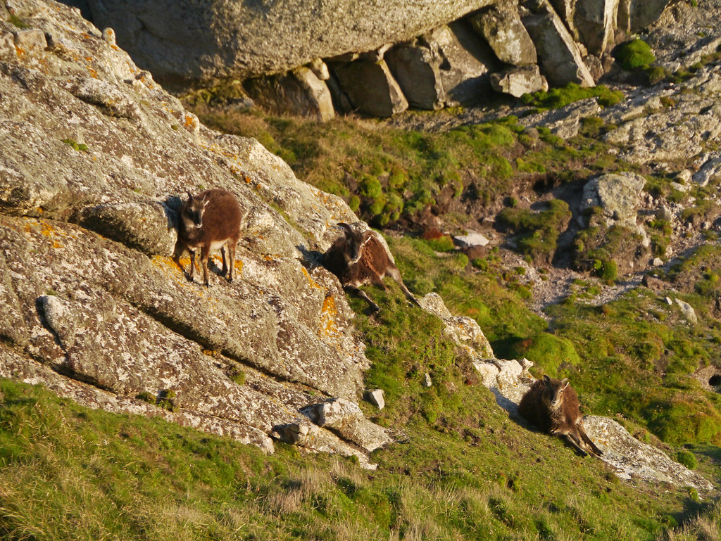 evolution of the wild soay sheep Changing winter conditions are causing scotland's wild soay sheep to get smaller despite the evolutionary benefits of having a large body, researchers report in a study that shows how.