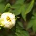 The bud of peony in Tokugawa garden.