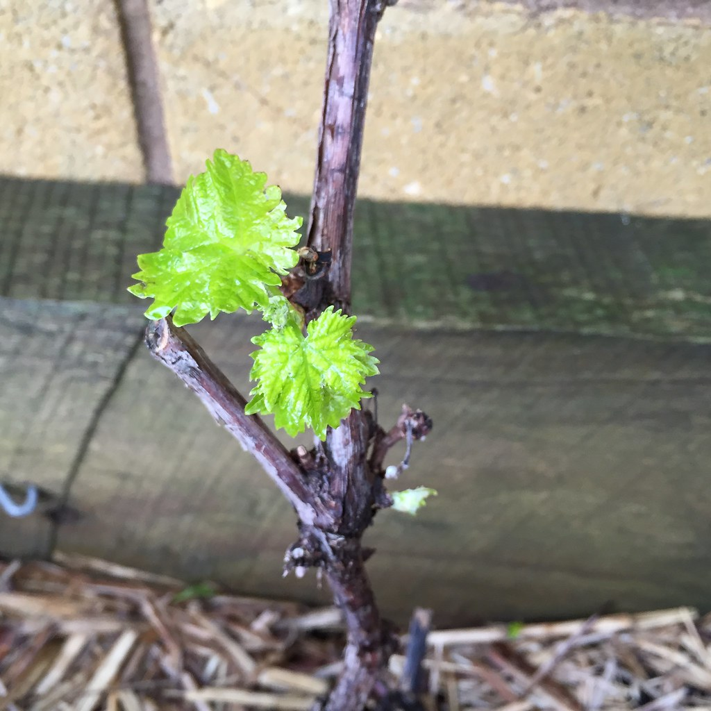 new grape leaves growing on the vines