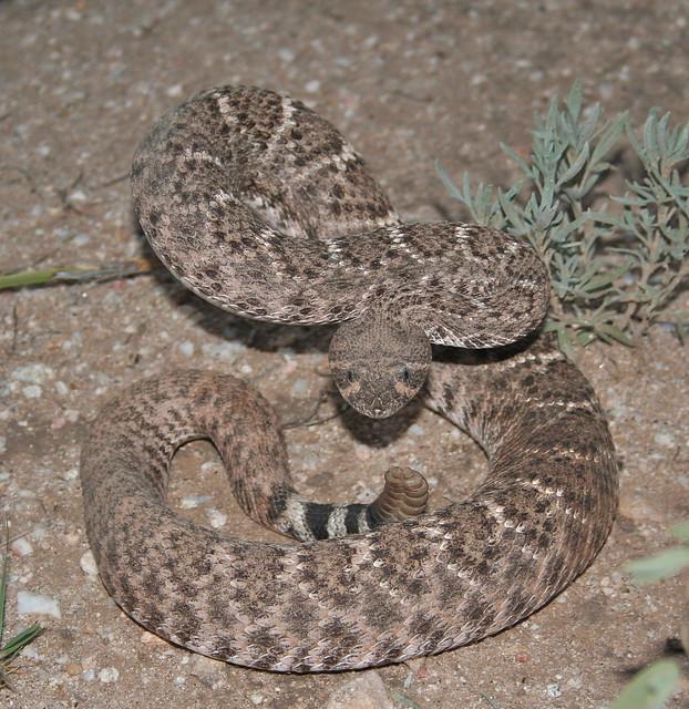 Recent Photos T... Western Diamondback Rattlesnake Head