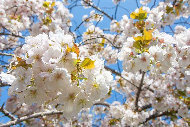 Cherry Blossoms Brooklyn Botanic Garden Flickr Photo Sharing