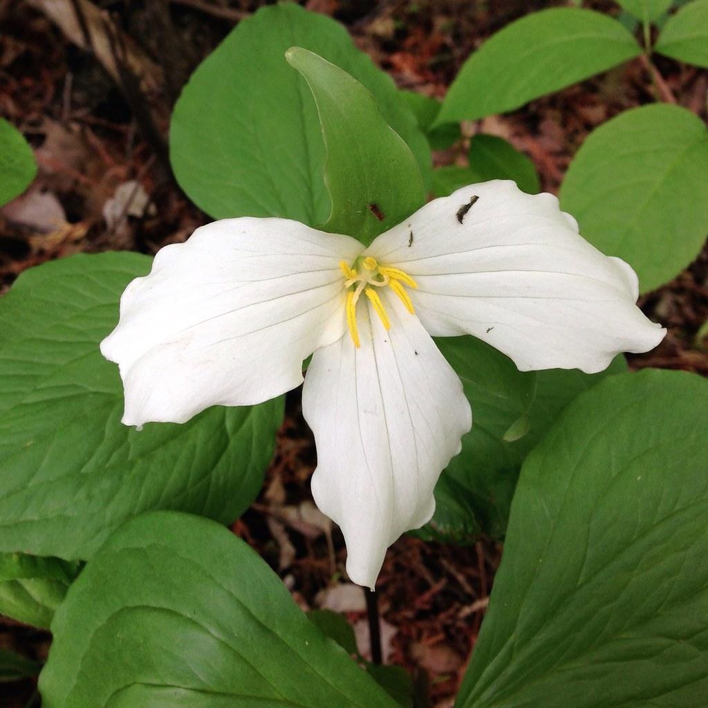 trillium The State Flower of Michigan Ken Bosma